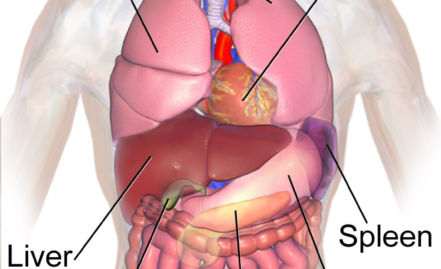 'A Device Extending the Life of Organs'